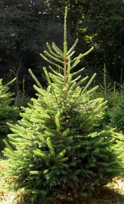 Farm-grown Norway Spruce Christmas tree